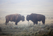 Bison shed their winter coats in spring, and have a  dishelvelled appearance until the new coat grows by mid summer. Hayden Valley in central Yellowstone National Park, Wyoming, USA