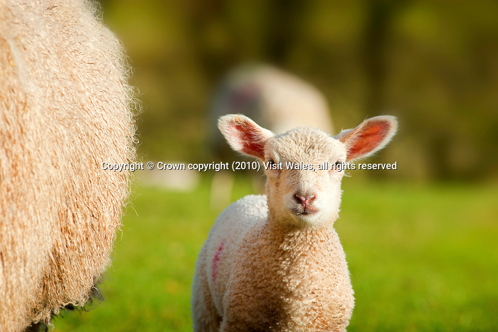 Lamb<br /> Brecon Beacons<br /> Sheep<br /> Fauna<br /> Flora And Fauna