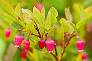 Flowers of Bog Blueberry (Vaccinium uliginosum) in summer in full bloom at Hatcher Pass in Southcentral Alaska.  Afternoon. Summer.
