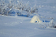 Arctic fox ( Vulpes lagopus ) sequence of diving into snow after prey on tundra of Hudson Bay Lowlands <br />Churchill<br />Manitoba<br />Canada