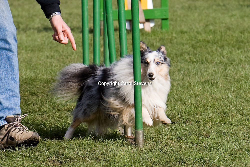 Dog Agility at the East of England Showground, Peterbprough March 2010