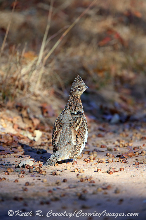 Ruffed Grouse and Acorns on Gravel Road