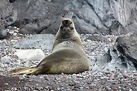 """Guadalupe Fur Seal """"Peekaboo"""""""
