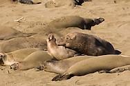 Norther Elephant Seal bull (Mirounga angustirostris) biting a cow, displaying mating behavior