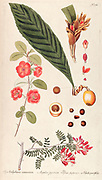 Hand painted botanical study of Hedychium coronarium, loquat - Mespilus japonica (Eriobotrya japonica), Pyrus japonica and Schiotia parvifolia plants  from Fragmenta Botanica by Nikolaus Joseph Freiherr von Jacquin or Baron Nikolaus von Jacquin (printed in Vienna in 1809)