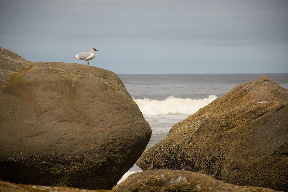 Seagull on Eroded Sandstone Sea Stacks, Kalaloch Beach 4, Olympic National Park, Washington, US