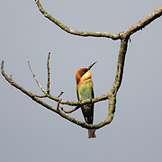 The chestnut-headed bee-eater (Merops leschenaulti) a.k.a. bay-headed bee-eater is a near passerine bird in the bee-eater family Meropidae. It is a resident breeder in the Indian subcontinent and adjoining regions, ranging from India east to Southeast Asia, including Thailand, Malaysia and Indonesia.