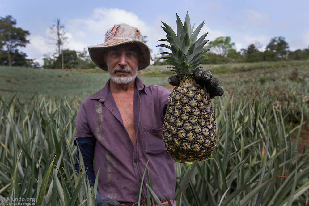 Pablo Araya, 52, from Katira, holds a recently harvested pineapple. Mr. Araya has been a small producer associated with AGRONORTE since 2007. AGRONORTE exports pineapples, or ananas, certified by the Fairtrade Labelling Organization (FLO). Katira, San Rafael Guatuso, Alajuela, Costa Rica. January 29, 2014.