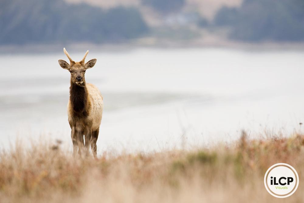 Tule Elk (Cervus elaphus nannodes) yearling bull, Point Reyes National Seashore, California