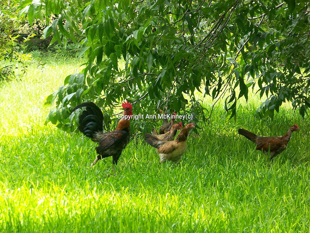 A banty rooster protecting his hens at a country home in Texas.