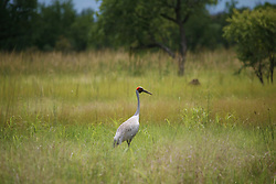 The brilliant red on a Brolga's head stands out amongst the grass in the wet season on the road to Fitzroy Crossing.