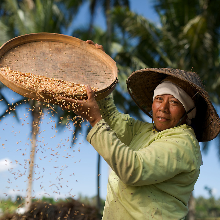 Winnowing rice in the rice paddies among the coconut trees in Luwus village of Bali. The woman is Bu Edi and she was getting one bag of rice (70kg) per each died of one eco size. (100 ecos to the hectare,)