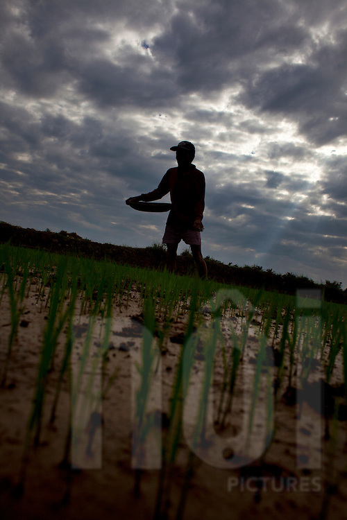 a man is seeding rice in a field on a cloudy afternoon near Hoi An, central Vietnam, Asia