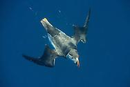 Puffin diving underwater