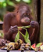 Juvenile orangutan feeding in Sepilok Orangutan Rehabilitation Centre, Sabah, Borneo.
