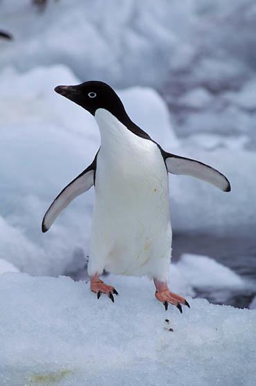 Adelie Penguin, (Pygoscelis adeliae) Cooling off on iceberg. Antarctica Peninsula.