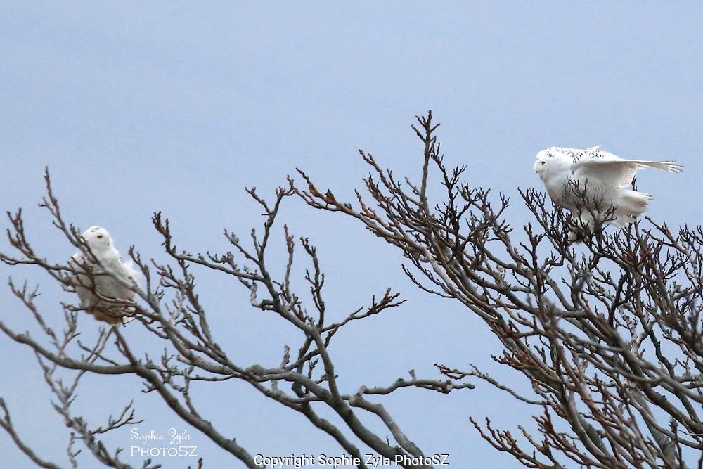 I Spy Someone, another Snowy Owl
