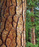 I got the fine detail of the bark in this Ponderosa Pine trunk photo.  What's interesting  about his image is I positioned the same type of tree behind the main subject.