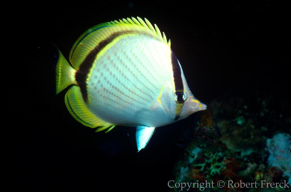 UNDERWATER MARINE LIFE WEST PACIFIC, Southwest FISH; Butterflyfish Chaetodontidae