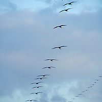 A squadron of pelicans fly in formation above Santa Monica Beach on Wednesday, October 9, 2013.