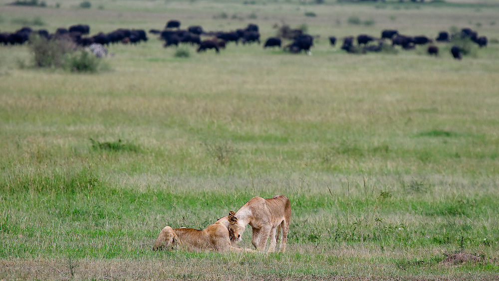 (Panthera leo) A cub, almost full grown, greets her mother, while in the distance a herd of buffalo graze. Serengeti National Park, Tanzania