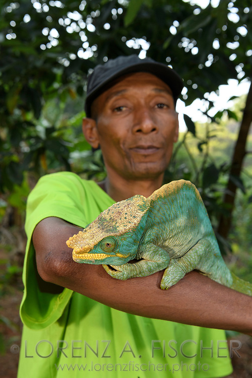 Parsons Cham&auml;leon (Calumma parsonii), Ranomafana, Madagaskar<br /> <br /> The guide Charles with a Parson's chameleon (Calumma parsonii), Ranomafana, Madagascar