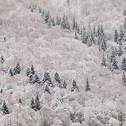 First snow on mixed trees