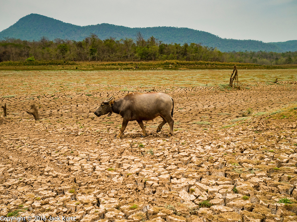 02 APRIL 2016 - NA SAK, LAMPANG, THAILAND:  A water buffalo walks through the dried landscape of Mae Chang Reservoir near Sobjant village. The village of Sobjant in Na Sak district in Lampang province was submerged when the Mae Chang Reservoir was created in the 1980s. The village was relocated to higher ground a few kilometers from its original site. The drought gripping Thailand drained the reservoir and the foundations of the Buddhist temple in the original village became visible early in 2016. Thai families come down to the original village to pray in the ruins of the temple and look at what's left of the village. This is the first time in more than 30 years that this area has not been under two meters of water.     PHOTO BY JACK KURTZ