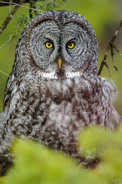 Great Gray Owl (Strix nebulosa) Portrait, Western Montana