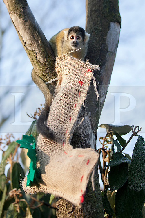 © Licensed to London News Pictures. 12/12/2012. London, UK. A member of London Zoo's resident Black capped Bolivian squirrel monkey troop raids a Christmas stocking left by a keeper as an early festive treat in London today (12/12/12). Photo credit: Matt Cetti-Roberts/LNP