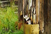 White kitten peeking out of barn