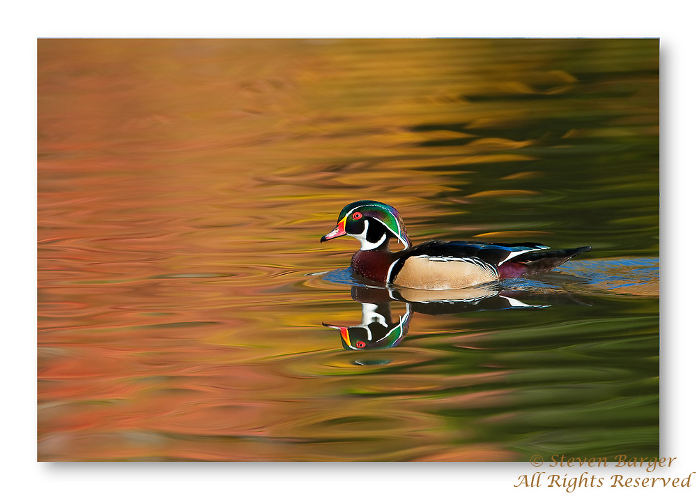 Wood duck swimming in pond Cleveland, Ohio with fall colors reflected in water.