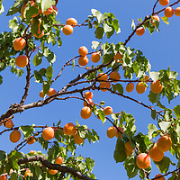 Annie's Apricots in Mosier, Oregon