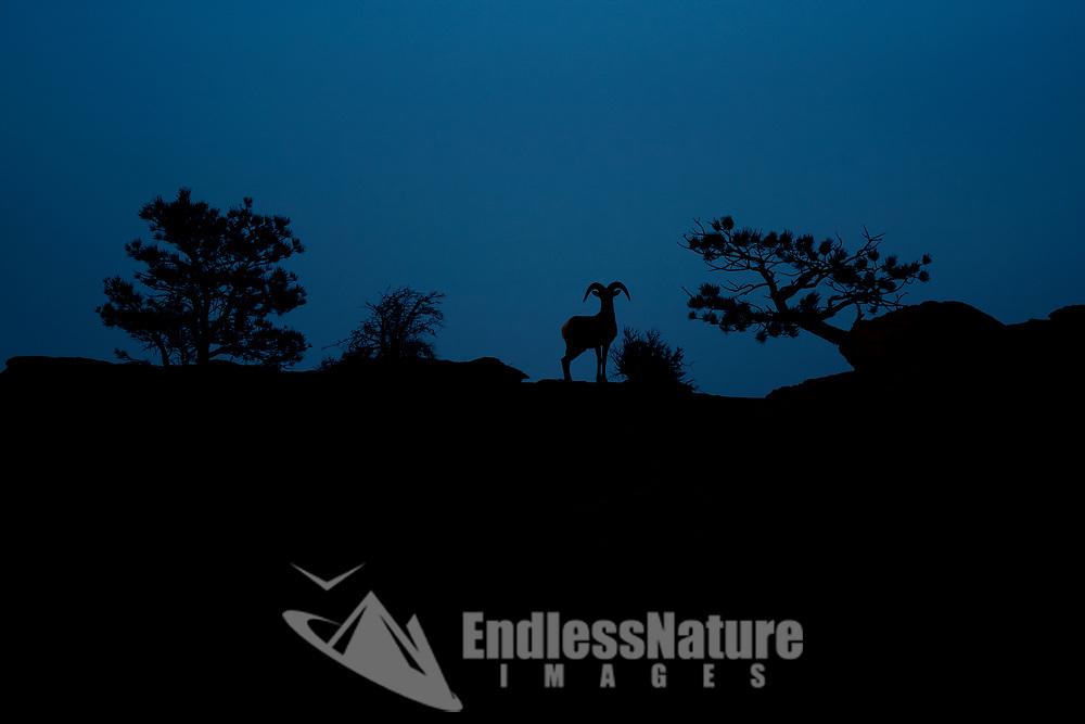 As light fades among the high canyon walls a young Desert Bighorn Sheep is silhouetted on the top of a ridge.