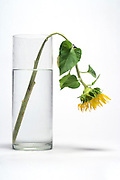 one single sunflower in vase hanging down