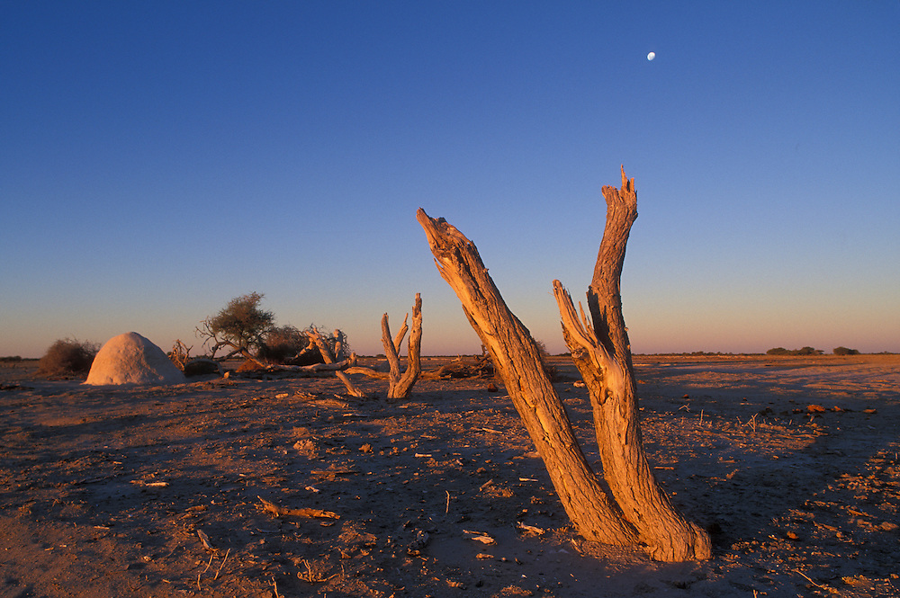 Botswana, Nxai Pan National Park, Setting sun lights remnants of dead trees on Nxai Pan in Kalahari Desert