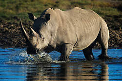 White Rhino (Ceratotherium simum) is the largest and most numerous species of rhinoceros that exists. In Lake Nakuru National Park in Kenya these animals are quite common.