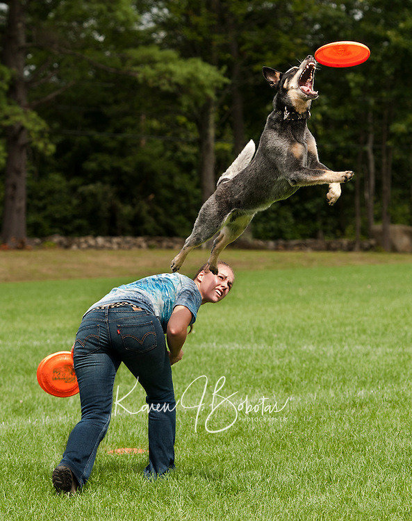 "Ashley Mix and ""Kangaroo Blue"" an Australian Cattle Dog from Granite State Disc Dogs perform during Gilford Old Home Day festivities on Saturday morning.  (Karen Bobotas/for the Laconia Daily Sun)"