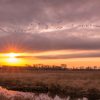 The sun and geese rising over wetlands.