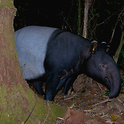 The Malayan tapir (Tapirus indicus), also called the Asian tapir, in Kaeng Krachan National Park, Thailand.