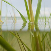 Split, above and below water detailed view of  sea grass growing in shallow, brackish water.   East Hampton, NY.