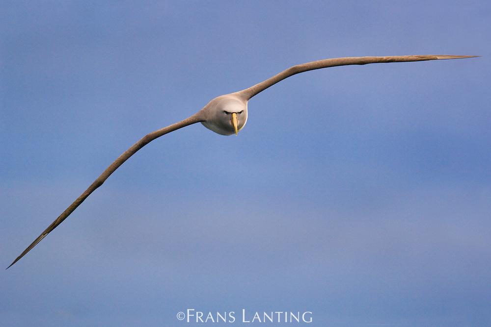 Salvin's albatross in flight, Thalassarche salvini, New Zealand