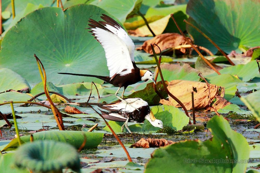Pheasant-tailed Jacana, Hydrophasianus chirurgus,  courtship, near Ambalantota, Sri Lanka, by Adam Riley
