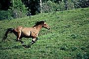 Running horse at Paradise Ranch near Buffalo, Wyoming.
