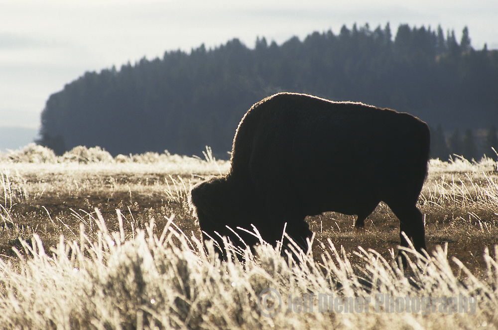 A lone bison grazes for food in Yellowstone National Park, Wyoming.