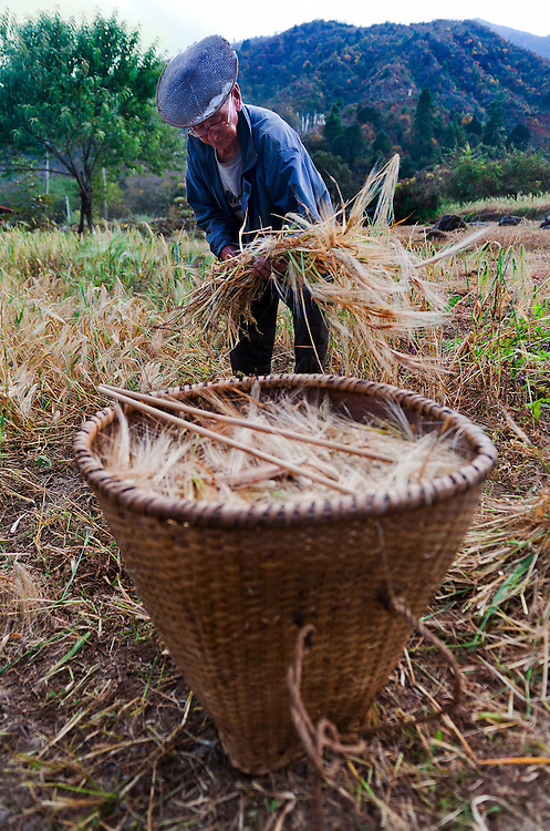 A farmer harvesting buckwheat in rural Bhutan.
