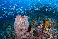 Fusiliers and Barrel Sponge<br /> <br /> Shot in Indonesia