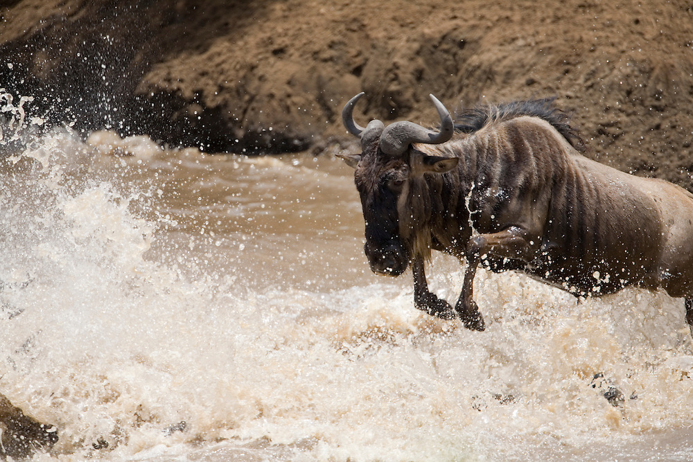 Africa, Kenya, Masai Mara Game Reserve, Wildebeest (Connochaetes taurinus) leaping into Mara River during migration