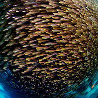 """National Geographic Magazine """"Visions of Earth"""". A shot from Gulf of Aqaba. Surrounded by thousands of golden sweepers, photographer Magnus Lundgren spun his camera to capture this shifting school off Eilat, Israel. After 200 tries he got it: a whirlpool of four-inch fish. (Magnus Lundgren)"""