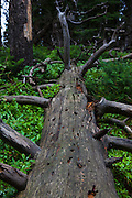 Fallen treet in Grand Teton National Park, Wyoming